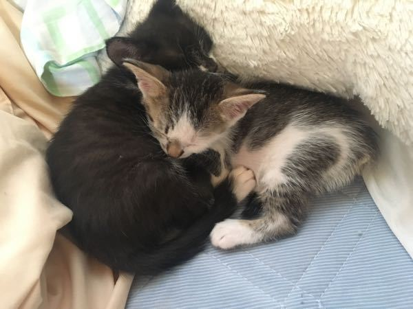 3週間前に仔猫4匹を保護しました。 そのうち1匹は譲渡先が決まり、すっかり溶け込んで先住猫とも仲良くやっているようです。 残り3匹の譲渡先が決まらず 里親募集のサイトや今までに里親募集の経験があ...