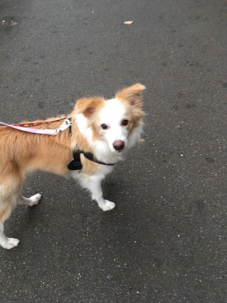 こちらの犬はなんと言う犬種でしょうか。
