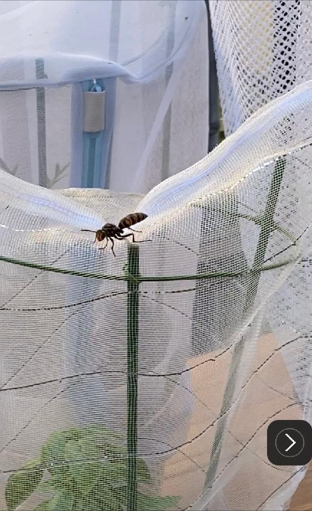 ベランダで羽のない蜂の様な虫を発見しました。蟻は羽が取れたりする話を聞いたことがありますが、蜂は聞いたことがありません。 ・虫の種類(蜂であればどの種類か) ・羽が取れてしまった考えられる理由 この2点、教えていただければ嬉しいです。 よろしくお願いします。