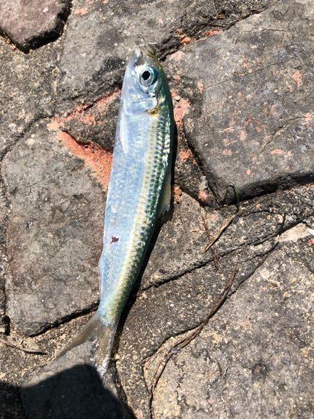メジナが釣れなくなったら、今度はこの魚が釣れ始めました。これはなんて魚ですか