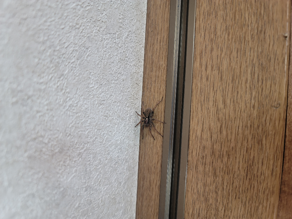 5センチちょいくらいの大きさですがこれはアシダカグモですよね?