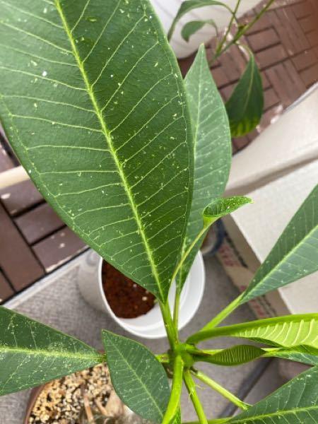 プルメリアの葉から小さな葉が出てるのですが これは何かの病気とかですか?
