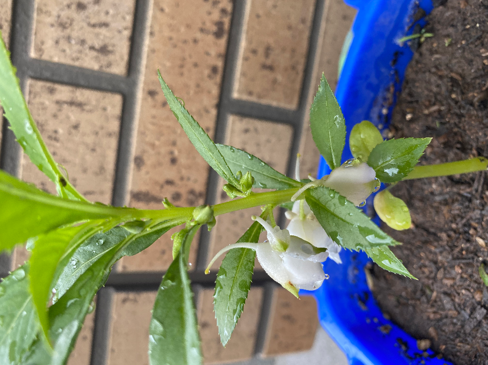 子供が夏休みになり、小学校で育てている植物の鉢を持ち帰って来たのですが、何の花かわからないので、教えて頂きたいです。 始めはホウセンカを植えていたのですが、うまく育てられず、先生の判断で違う種を植えて育てているとのことで、何の種かわからないとのことでした。無知な質問で大変申し訳ありませんが、よろしくお願い致します。