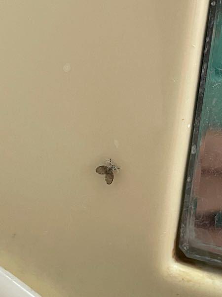 この虫の名前を教えてください。 夏にお風呂場等湿った場所に出現する気がします。
