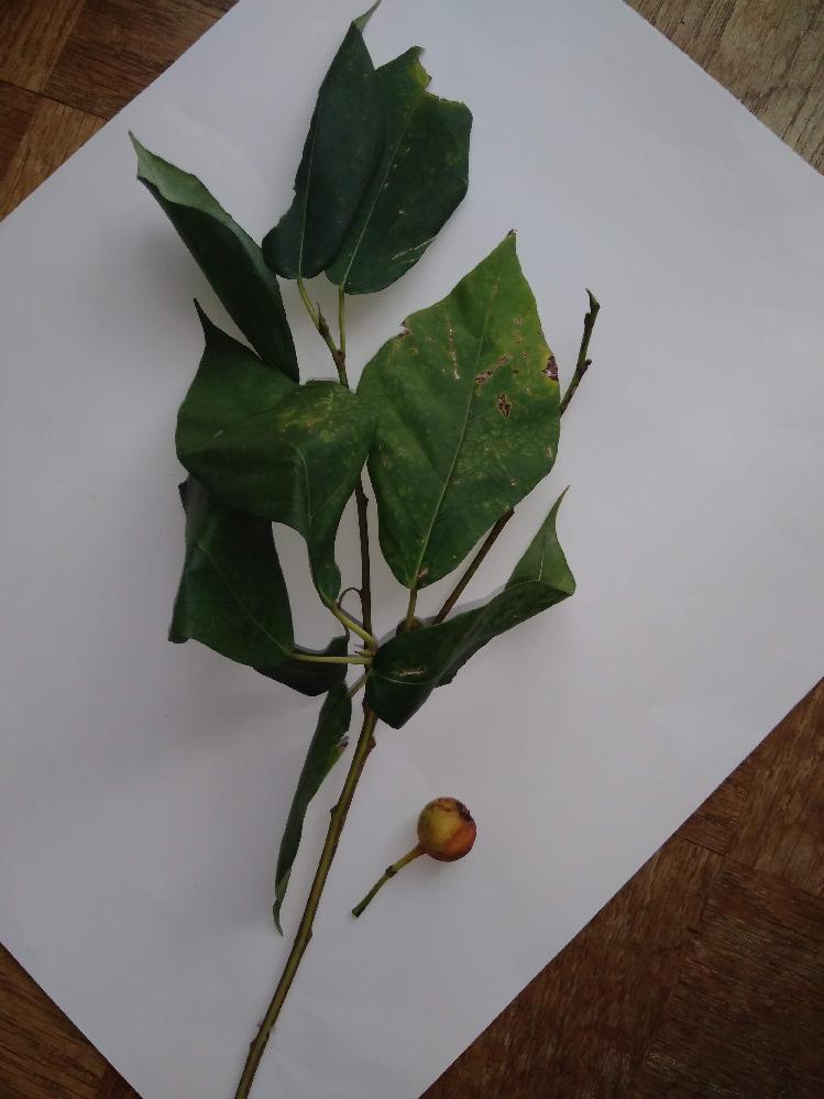 この植物の名前を教えてください。 右下の小さな実がついていました。 よろしくお願いいたします。