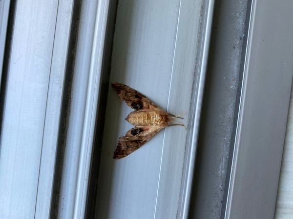この虫なにか分かる方教えてください。朝、家にいました。