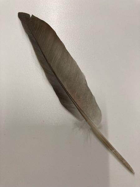 これは何の鳥の羽根ですか?