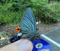 この蝶の名前を教えていただけませんか? しつこいくらいに構ってくるので少しだけ遊んであげただけなんですが…少し気になったのがモヤモヤしたので…