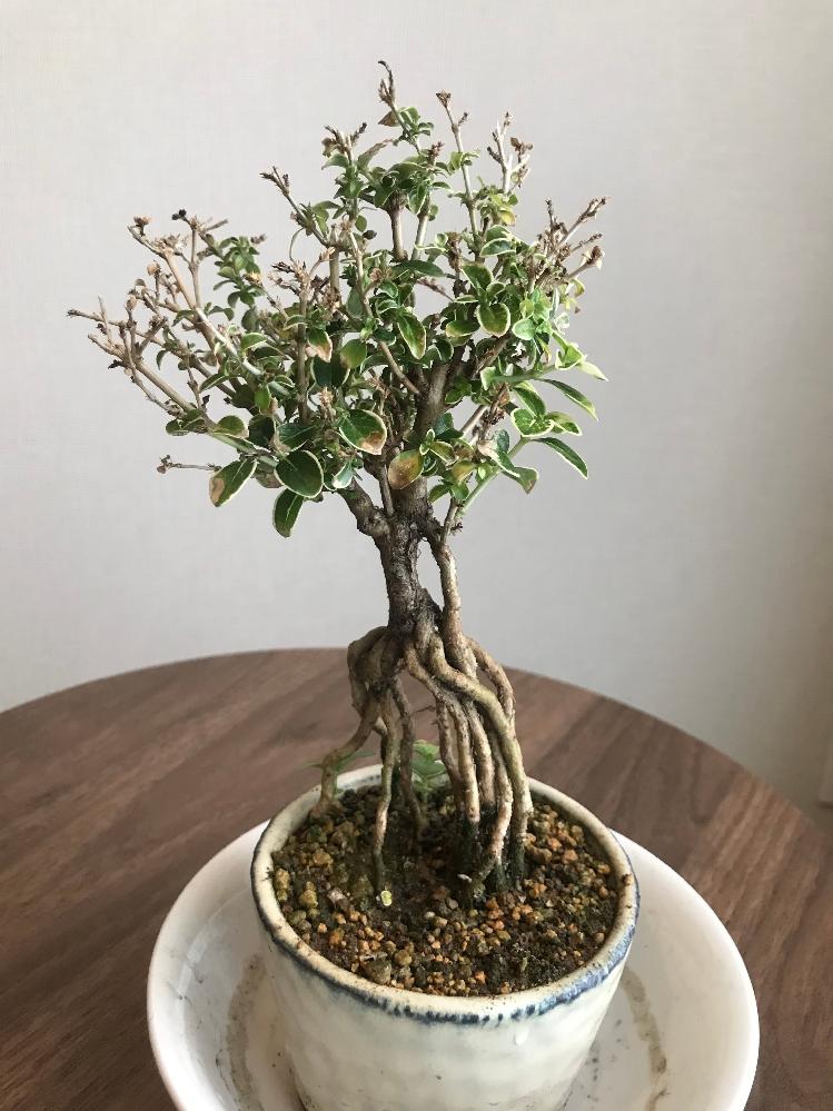 香鳥木の盆栽が枯れてきているので、詳しい方にアドバイスいただけると幸いです。植物の初心者です。 2020年6月にプレゼントで香鳥木もらい東京のマンションで育てています。最初は日の当たる室内の窓辺で育てておりその年は無事に花も咲きました。 しかし2020-2021年の冬は葉が枯れ落ちるようになりました。その後2021年春になっても葉先が黄色くなって、枯れていく葉は無くならないので、調べて見て根詰まりだと思い、同じ鉢に植え替えをしました。ただ、植え替え時期は通常3月あたりのようですが、気づいたのが遅く5月のGWの植え替えになってしまいました。 育てる場所は、光や風を感じた方が良いとのことで、ベランダ(直射日光があたるのは午後暑い時間に1時間程度)に移しました。 また植え替え後あまり時間を空けず(1,2週間程度後)に白い固形肥料(窒素・リン酸・カリ)を置きました。これがあまり良くなかったのかと思いますが、しばらくすると土の表面に白い粒が、香鳥木の幹に白い粉状の物が現れました。白い粒のついた土(表面の一部)は取り除きましたが、幹が粉を吹いた状態は現在も続いています。 花は、6月に一本の枝からのみ一輪ずつ3,4度つきましたが、最近出来た蕾は大きくならず枯れそうです。 現在は、土がよく乾くので朝と夕方に水やりをしています。しかし、枯れるスピードは増している気がします。写真のような状況です。ひこばえはあります。 この香鳥木が復活するには、どうしたら良いでしょうか。今までの育て方の問題などもご指摘いただけると嬉しいです。どうぞよろしくお願い致します。