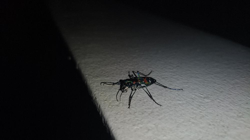 昨夜見つけたやつですが、カミキリですかね? 大きな目、鋭い大あごと牙、玉虫色… 種類、名前がわかる方教えてください。
