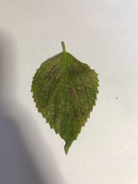 家庭菜園の大葉が変な色になりました。 何の病気か調べても判断できません。 病名と対処法を教えて欲しいです。