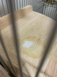 デグーのステップを掃除しようと思ったのですが、オシッコの汚れの真ん中が白くなっています。何か体調が悪いのでしょうか、、?