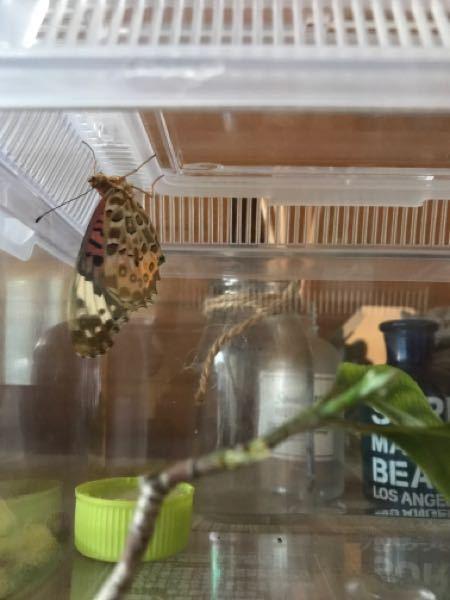 本日蛹の変形により羽化に失敗して羽が破れてしまったツマグロヒョウモン、とても元気なのですが飛ぶことができません。(反対側の羽根がほとんどありません) 逃がしても他の虫の餌になってしまうだろうと思い家で飼うことにしました。ペットボトルの蓋に砂糖水をたっぷり染み込ませたコットンを入れてみましたが、それでいいですか?他の入れ物の方がよろしいですか?そこに乗せてあげるとしばらく吸っていましたが、今、ケースの蓋の裏に止まっています。こんなかんじで何日か生きていられますか? いろいろ質問してすみません。わかる限りでいいので教えて頂きたいです。宜しくお願い致します。