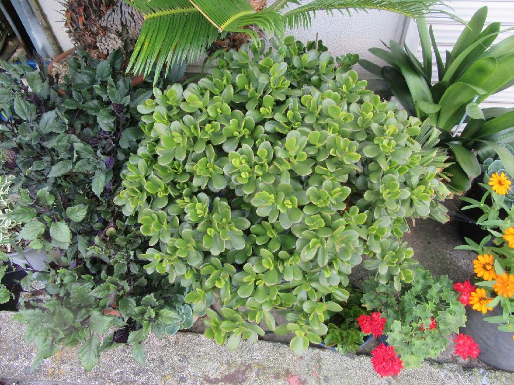 この植物の名前を教えてください。 多肉植物のようですが、やや小さい葉が密集しています。 花は咲いて言いません。撮影は7月の中旬です。 (できれば、左のやや紫がかった葉っぱの名前もお願いします。右の黄色い花はホソバ・ヒャクニチソウだと思いますが。)