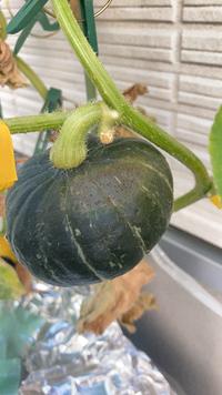 もう少ししたら収穫しようと思っていたミニカボチャの表面に茶色いつぶつぶと変色がありました。 何かの病気でしょうか? 変色した部分を取り除けば食べられますか??