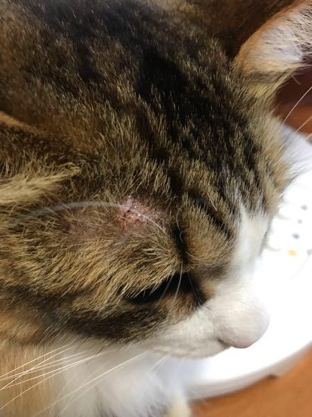 湿疹? うちの愛猫ですが、少しだけ痒みもあるようです。これは様子見しても大丈夫でしょうか?