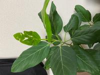 質問失礼します。 フィカスベンガレンシスの一番新しい葉がこのように虫食いの様になってしまってました。 これは虫食いなのでしょうか。