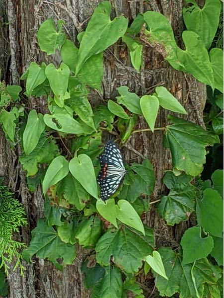 このチョウの名前わかれば教えてください。森で見つけました。北関東です。