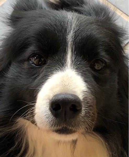 こんにちは! 私は今黒色のボーダコリーをかっていて7年目になります。そこでもう一匹迎えたいと思っています。 好きな犬のタイプは黒色で中型犬です。 基本的にはこの子だ!って思った子にしようとおもっ...