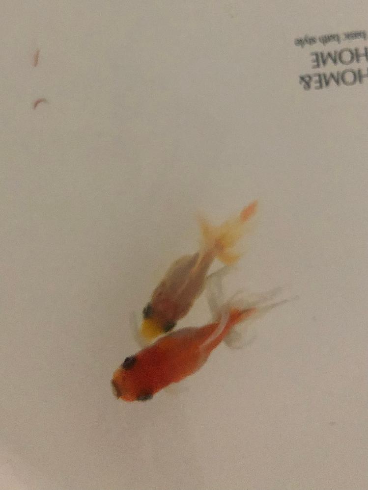 金魚すくいで飼い始めた金魚ですが何という種類ですか?? 調べてもよく分からず...よろしくお願いします