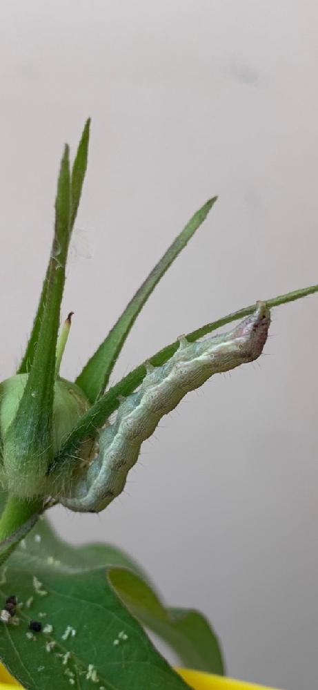 朝顔にイモムシが付いていたのですがこれは蛾の幼虫でしょうか?