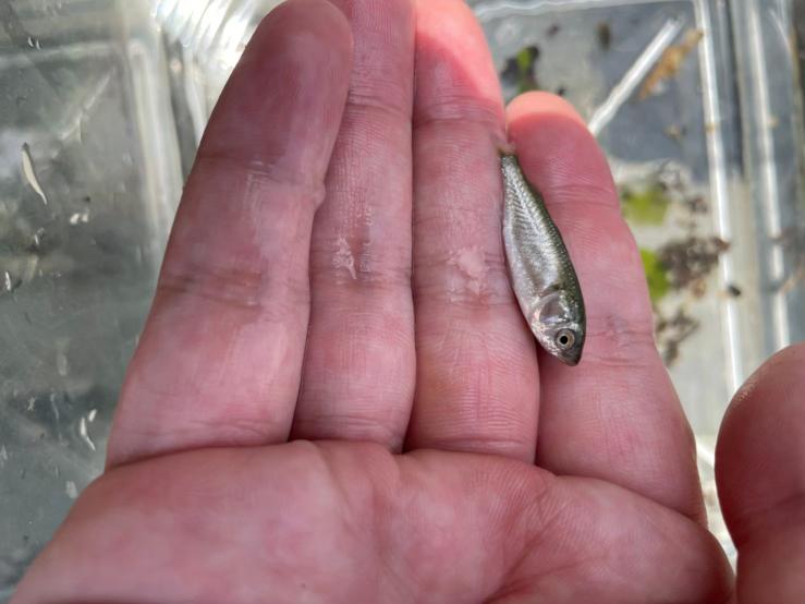 川でとれました。この魚の名前を教えて下さい