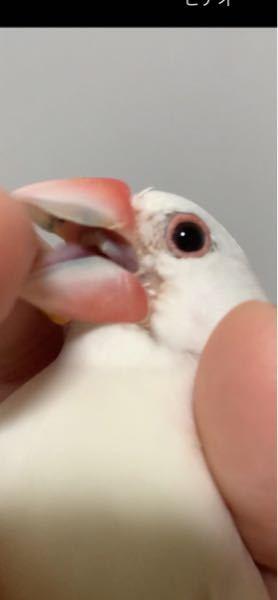 文鳥の嘴の白い部分が青くなっていました。 ふと気付くと、うちの文鳥の嘴が青ばんでいました。 画像のように、内側が青くなっており、外から透けて見えてる感じです。見づらい写真で申し訳ありません…。 先程まで放鳥していた時になにかを啄んで色移りしただけでしょうか…。 それとも、気づかないうちに悪い物でも食べてしまったのでしょうか…。 病気の可能性も考え、色々検索しましたがなにもヒットしませんでした。 何か原因として考えられることはないでしょうか。不安で仕方ありません。 皆様の知恵をお貸しください。