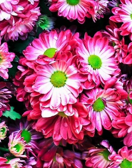 この花の名前をご存知ないでしょうか。 マーガレットではと思うのですが詳しい名前が分ればうれしいです。 花言葉も知りたいのですが。 同じ種類でも色が違うと花言葉も別のものがあったりするので。 お花にお詳しい方がいらっしゃいましたら、どうぞよろしくお願い致します。