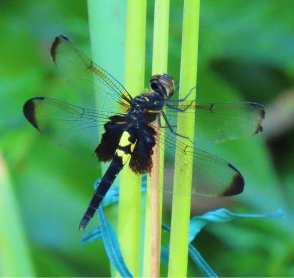 蜻蛉の種類 写真のトンボについて 種類および雄雌が分かる方、ご教示ください。 本日福岡県で撮影したものです。