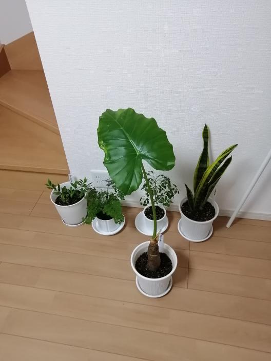 クワズイモ半月前に植え替えしていたときにバケツに入れて運んだときに、ぐりんっ!ひっくり返って落っこどしてしまい4本あった茎が折れて取れてしまって新芽?が1本生き残っていて、今がこれです。 またいっぱい生えてきますか? 新しい植木鉢は買ってあります。 こんばんわ