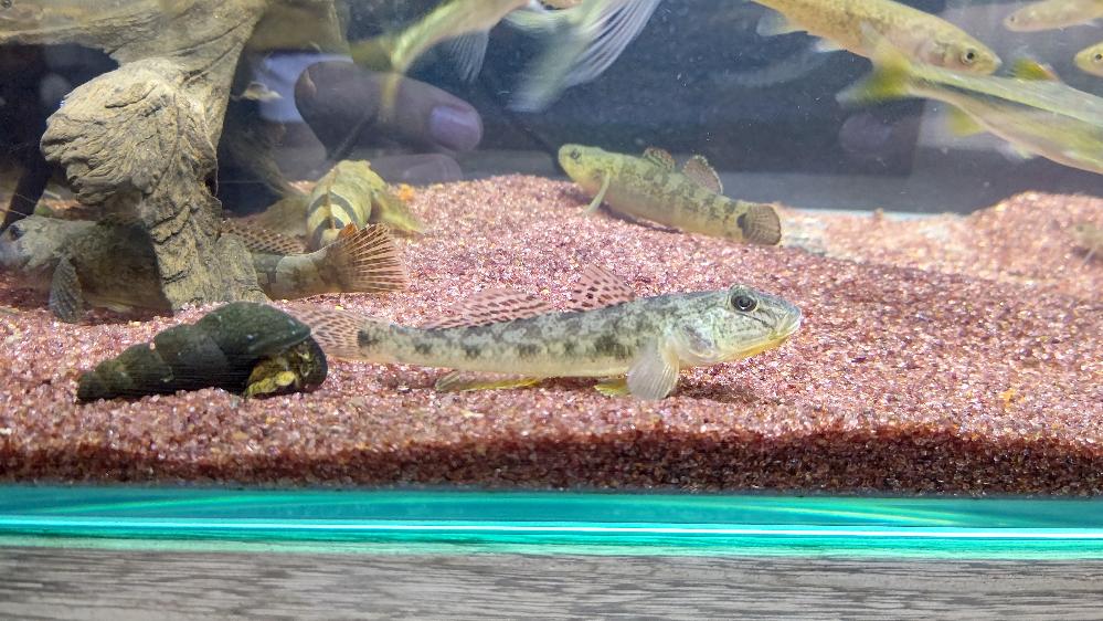 この写真の魚はマハゼでしょうか? ゴクラクハゼやスミウキゴリ等と一緒に川で捕まえました。 宜しくお願いします。