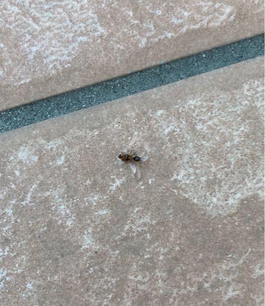 害虫について。南九州です。先日(7月末)の20時頃に大量の虫が窓に発生していました。カーテンを閉めていなくて室内の灯り目掛けてくっついていたようです。窓を開けると数匹入ってきました。こんな事ははじめてで す。この日は18時頃に10m離れた場所の草むしりをしました。それが関係していますか?違うなら何が原因か分かりますか?朝見ると写真の虫がチリトリ2杯分くらい死んでいました。原因とこの虫の名前が分かる方いたら教えて頂きたいです。