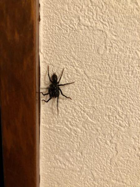 これは何の蜘蛛ですかね? 真っ黒でおしりから2本何か出てます