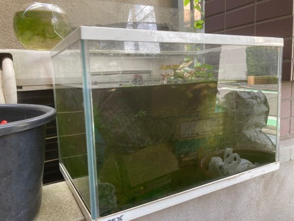 自宅の玄関車庫でメダカを7尾飼っています。 30cm×50cm×30cm程のガラスの水槽を使っています。 ・飼って1年になりますが、水を替えた事はありません。交換しなくて大丈夫な物なのでしょうか? ・底の方に緑色の「生海苔?あおさ海苔?」のような物が自然と発生します。 ・今年は梅雨の頃から卵を産み、赤ちゃんメダカが大量に生まれました。 親メダカとは別の陶器の入れ物で飼っています。 大きくなったら親メダカの水槽に入れようと思っていますが、上に書いた水槽だと何尾位入れるのが適当なのでしょうか?