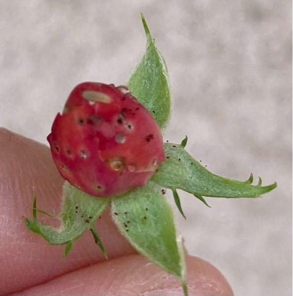 バラの蕾です。 穴が空いて、透明な水滴のような卵があり、上の方に幼虫がいます。 穴を見つけた時はバラゾウムシだと思ってベニカXスプレーをしたのですが、この幼虫はなんでしょうか? 蕾は穴の空いたものは全て摘み取り、穴の空いてないものは残していますが、全て摘んだ方がいいでしょうか。