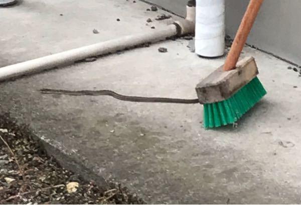このヘビはなんの種類か分かりますかね?? 画質が悪くて申し訳ないです。 家にヘビが出ること自体稀なので、とても焦っています……。