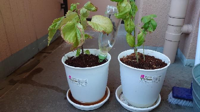 ベランダで育てている大葉の元気がありません。 大葉を苗の状態から十分な大きさの鉢に植え替えたのですが、植え替えてからすぐ葉が黄色くなったり、張りがない状態です。 条件は以下の通りです。 ・東向きのベランダ ・土はダイソーの堆肥入りのフカフカのやつ ・底石もダイソー ・追肥はしていない ・水は日が落ちてから写真くらい ・土を混ぜたところ、根詰まりはなさそう ・全く同じ条件の右のバジルは無駄に元気 ・直射日光は午前中の数時間だけ当たる 何か足りない情報があれば教えてください。 どうするべきか悩んでいます。 施肥や手入れをして元気になるなら育てたいのですが、難しいようであれば諦めようかとも思っています。 元気になるアドバイスをお願いします。