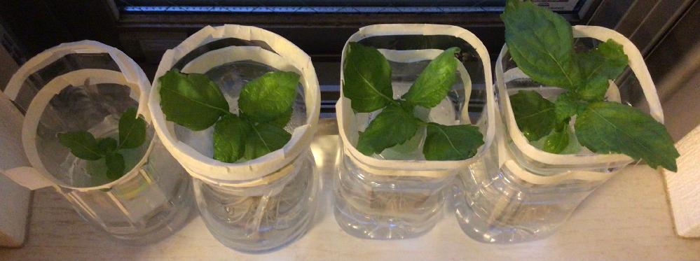 水耕栽培で大葉を育てています。 水(肥料入り)を変える頻度はどのくらいがいいですか??