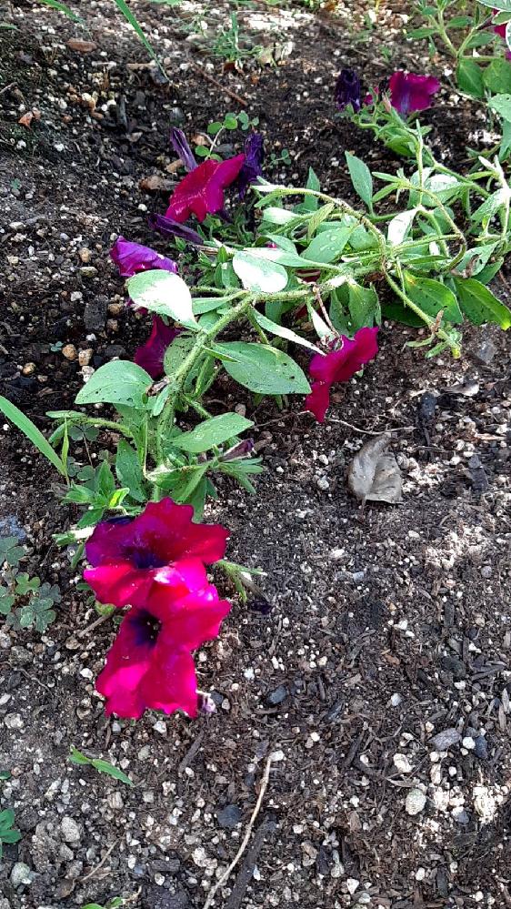 家の庭に、種を撒いたはずのない花が咲いてきたのですが、 この花はなにかわかりますでしょうか?