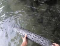 琵琶湖で鰻捕獲すると密猟になるんですか?
