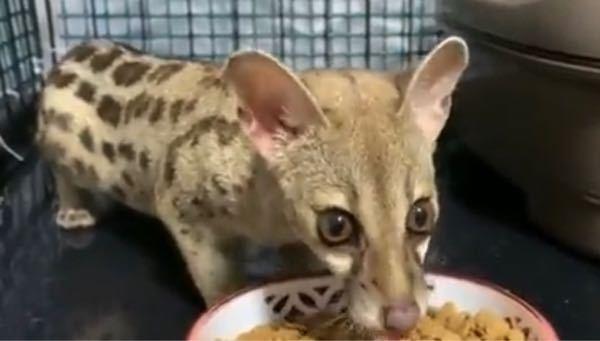 これは何と言う動物ですか? 一般人でも買えますか(飼えますか?)