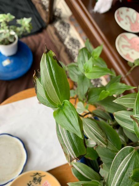 植物ビギナーです。 トラディスカンチア ラベンダーですが、葉先が茶色くなり枯れてきています。お水は最近は19日と24日にあげてます。この枯れ方は乾燥?それとも水のあげすぎ?アドバイスお願い致します。
