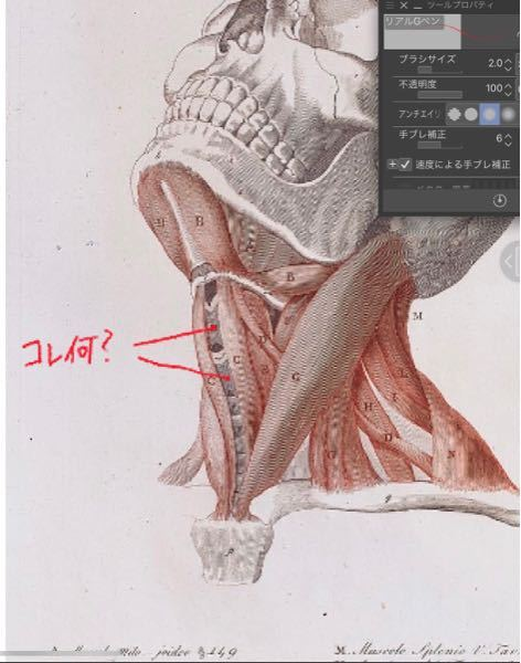 コレ何?と書いてる部分ですが、この部位はどこの部位ですか? 頸椎かと思ったのですが、これが頸椎だと顎から頸椎が生えちゃうと思うので、頸椎ではないなと思ってます。 筋肉でもなさそうですし、腱?軟骨?ですか?