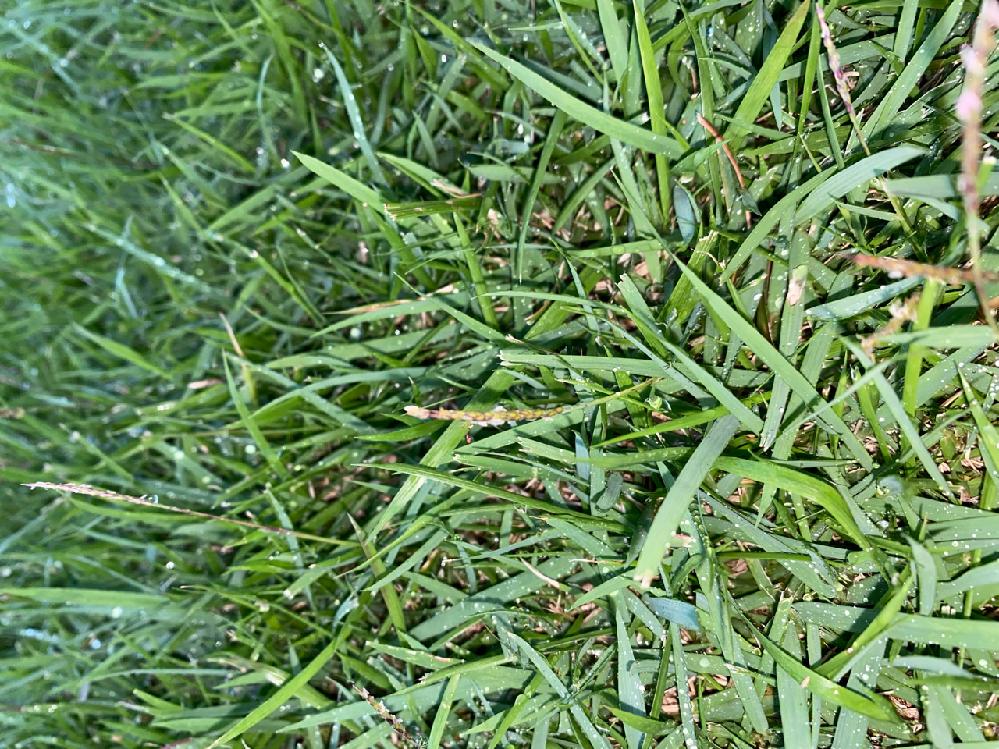 芝生と雑草の見分け方を教えてください。 画像の右側の葉幅が広いのは芝生ですか? 奥の芝生にすごく似てますが、葉の幅か広くツヤがありません。 増え方は根が地中に広がって伸びているので芝生のような気がしますが、葉の伸び方が芝生のように上に伸びずに地面にそうように生えています。 除草の薬剤とか分かると助かります。 もし芝生であっても見た目が悪いので取り除くための良い方法があれば教えてください。 よろしくお願いします。
