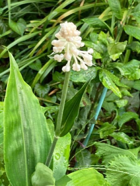 この花の名前を教えてください。 何かの種をまいたり、球根を植えたりはしてないのですが、この2ヶ月ほどで急に成長して、花が咲きました。高さは60〜70cmぐらいです。 よろしくお願いします。