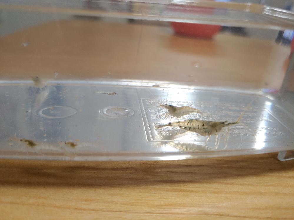 川で捕まえた小魚とエビ、種類がわかる方いますか?? 埼玉の川で子供と捕まえた小魚と小エビです。 しっかり育てられるように水槽を購入して1週間ほど育ててきました。 いまのところ元気なのですがエビが1匹大きくってきていて、共食いしたりしてしまわないかと心配しています。 ですが種類もわからず、調べようもなく… 見ずらい画像ですが、わかる方、せめて共食いしないかどうかわかる方がいましたら回答頂きたいです。