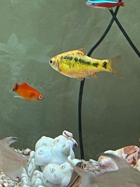 この黄色い熱帯魚の名前を分かる方教えてください よろしくお願いします。