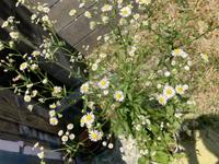 今、庭に咲いてる名前は何ですか? キクのようですが花弁が多く 匂います。
