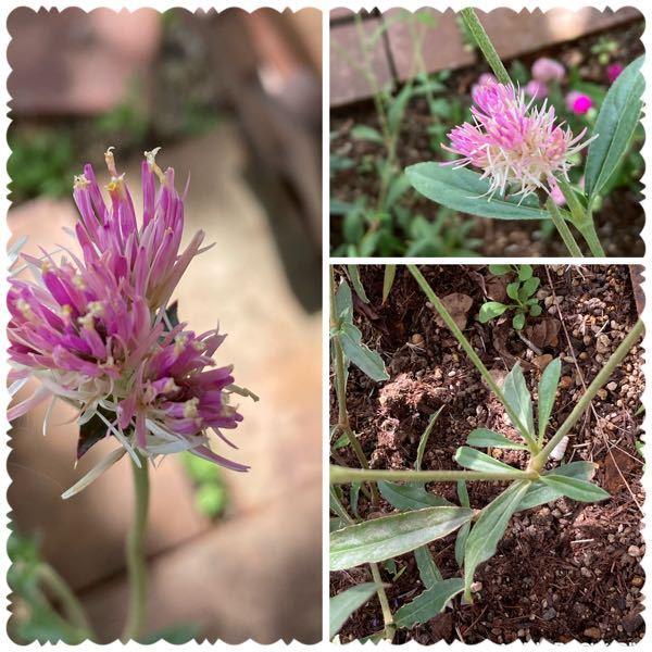 この花の名前を教えてください 根元の茎は3つに分かれています 花丈は40cmくらいです タグに名前が書いて無くてわからないんです よろしくおねがいします