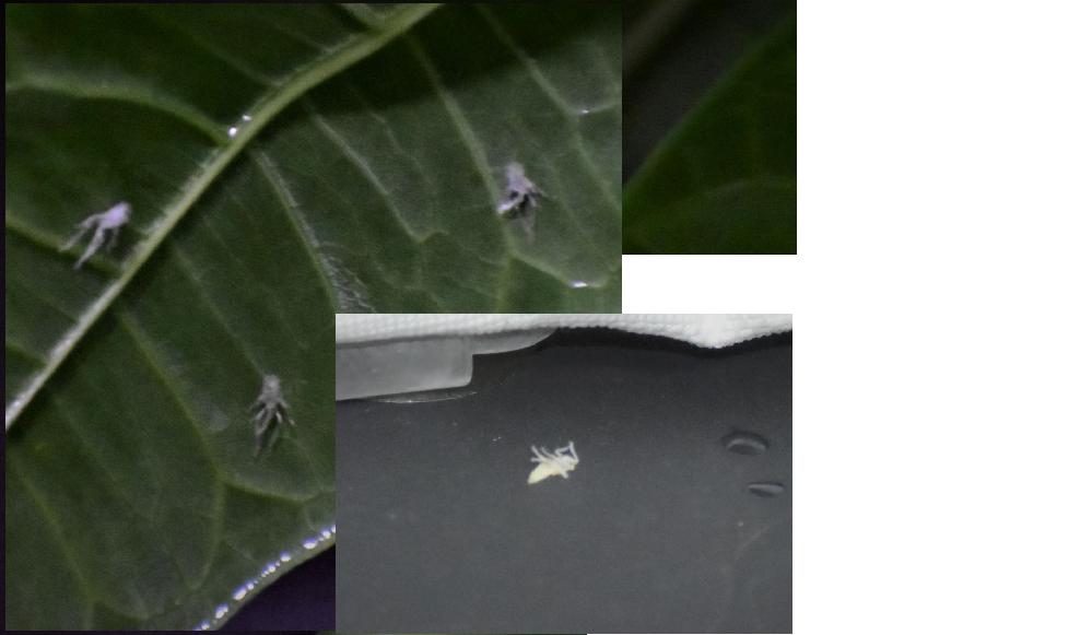 室内でパキラ育成中 土は観葉植物用の市販のものをしようしています 1週間前ほどに日光浴させました。 本日葉をみたところ裏側にだけ写真のような虫が10数匹付着していました。 ぱっと見となりのポトスには付着はなし。 大きさは5-8mmほどでした。 何の虫でしょうか?ご教授願います。